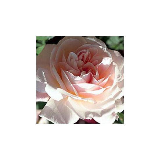 Rosa 'Grüss an Aachen' - Világos rózsaszín virágágyi grandiflora -, floribunda rózsa