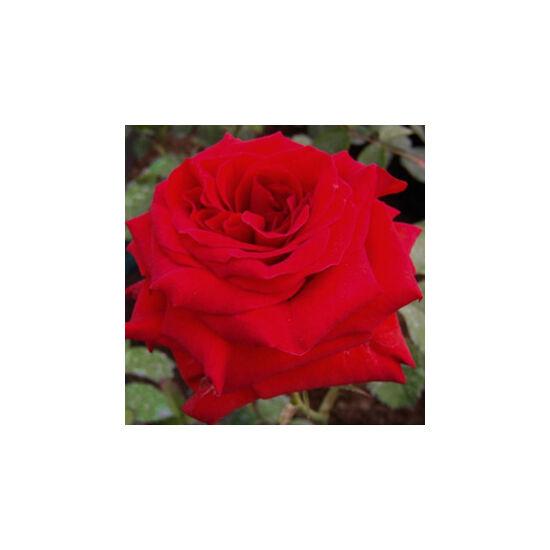 Rosa 'Hansestadt Lübeck' - Sötétpiros ágyás rózsa