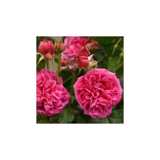 Rosa 'Pompadour Red' - Piros virágágyi grandiflora - floribunda rózsa