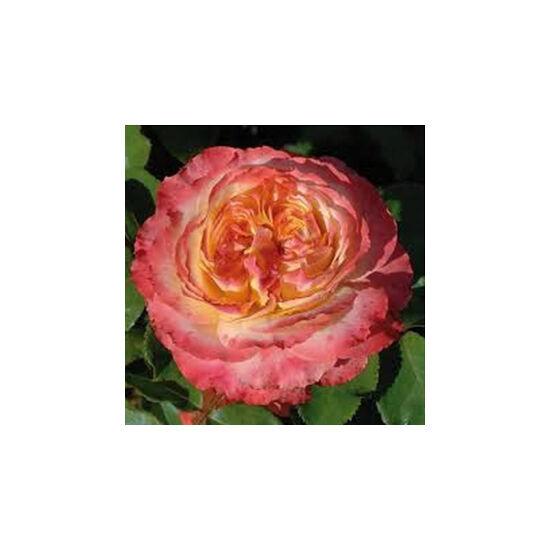 Rosa 'Ros'Odile' - Sárga, rózsaszín tarka virágágyi grandiflora -, floribunda rózsa