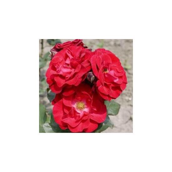 Rosa 'Sammetglut' - Sötétpiros fehér középpel - virágágyi grandiflora - floribunda rózsa