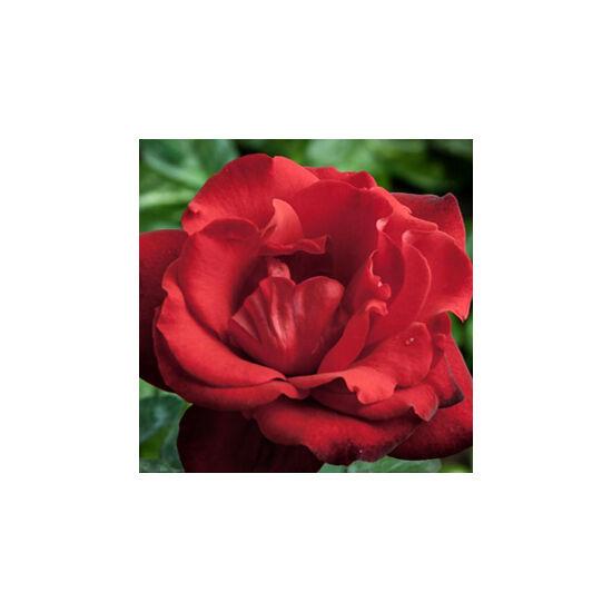 Rosa 'Satchmo' - Piros ágyás rózsa