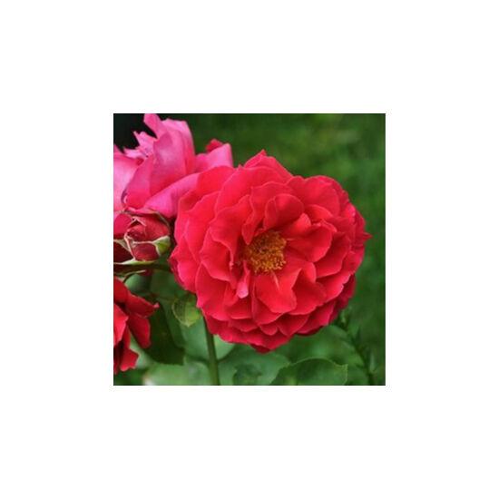 Rosa 'Souvenir d'Eduard Maubert' - Piros virágágyi floribunda rózsa
