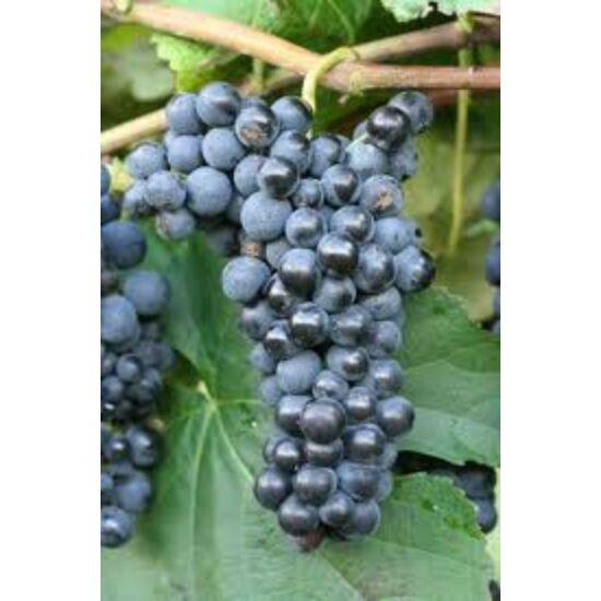 'Kismis Moldavszkij' kék magvatlan csemegeszőlő