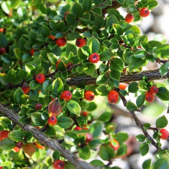 Cotoneaster simonsii – Himalájai madárbirs (szabadgyökerű)