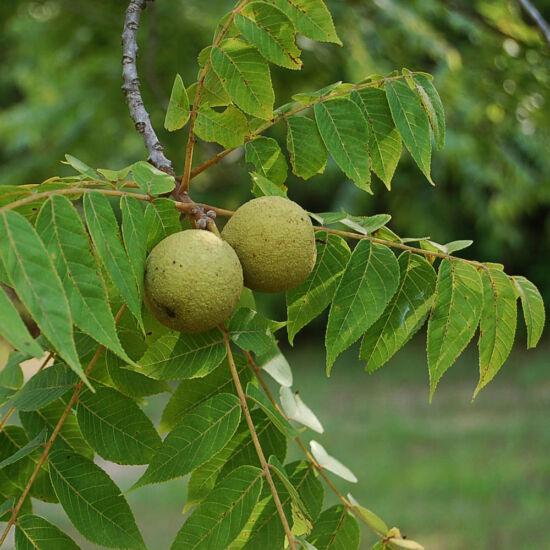 Juglans nigra – Fekete dió (szabadgyökerű)