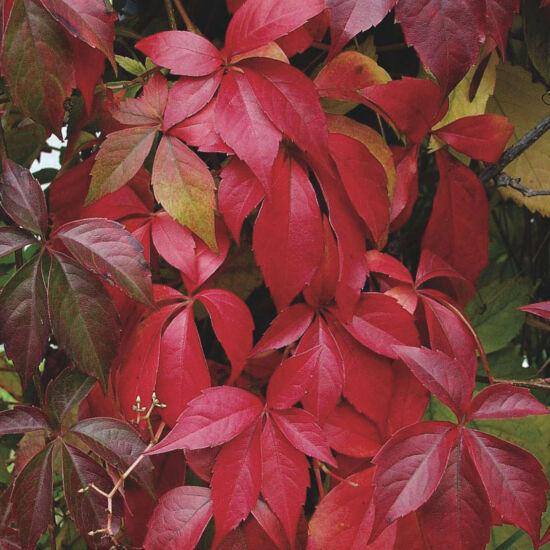 Parthenocissus quinquefolia – Kacsos vadszőlő (szabadgyökerű)