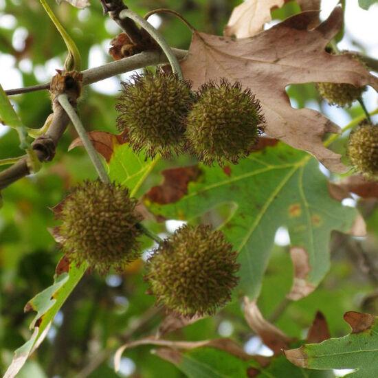 Platanus acerifolia – Platán (szabadgyökerű)