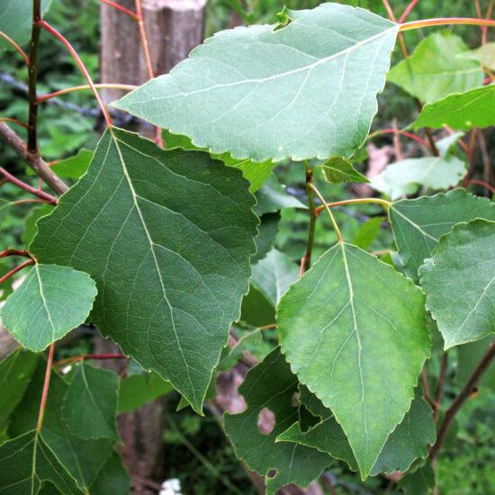 Populus nigra – Fekete nyár (szabadgyökerű)
