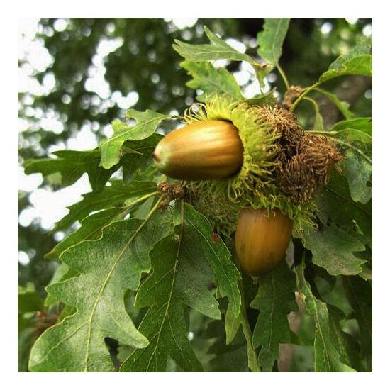 Quercus cerris – Csertölgy (szabadgyökerű)