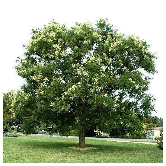 Sophora japonica – Pagodafa (szabadgyökerű)