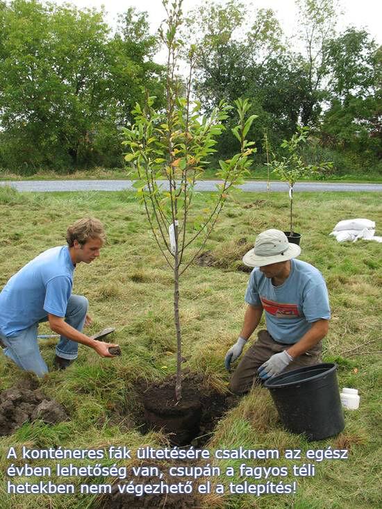 Konténeres gyümölcsfa csemete ültetése