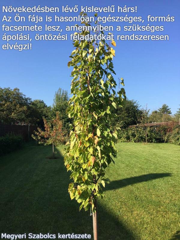 Kislevelű hárs Megyeri kertészet