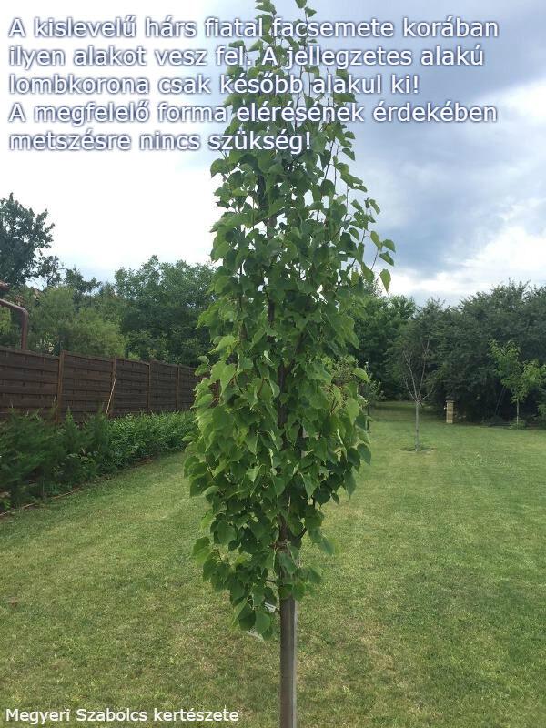 Hársfa vásárlás a Megyeri kertészetben