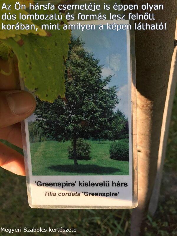 Hársfa csemete vásárlás a Megyeri kertészetben