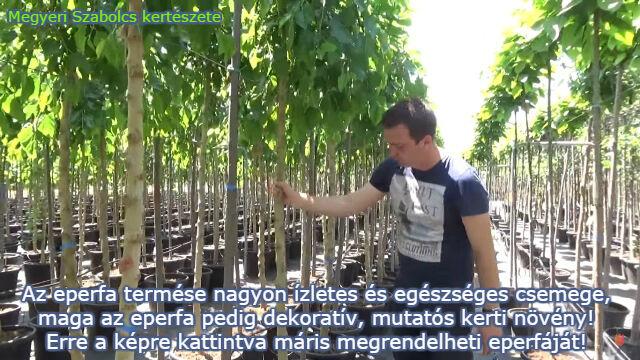 csüngő eperfa rendelés Megyeri kertészet