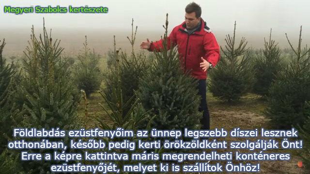 dézsás karácsonyfa rendelés a Megyeri kertészetből!