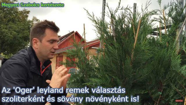 oger leyland ciprus vásárlás a Megyeri kertészetből