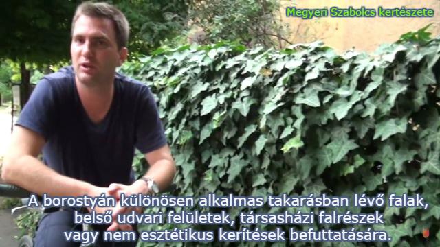 borostyán futónövény vásárlás Megyeri kertészet