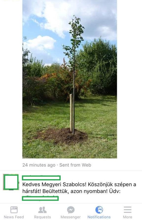 Kislevelű hársfa csemete Megyeri kertészet