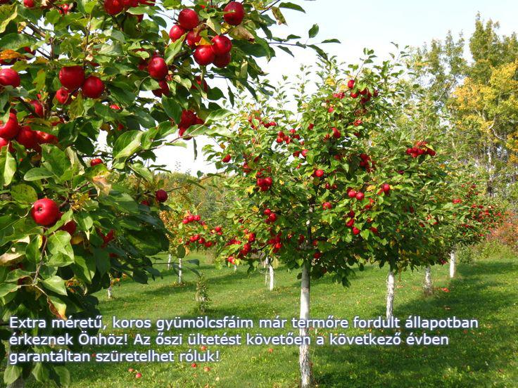 Koros gyümölcsfák a Megyeri kertészetből